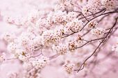 Wonderful cherry blossom in spring.
