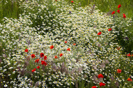 foto of rebs  - A sping field full of red - JPG