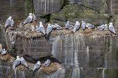 Kittiwakes nesting on cliff, Newfoundland