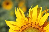 Locust on sunflower - garden and field pests