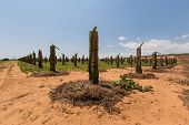 picture of dragon fruit  - Dragon fruit trees in the garden at Phan Thiet - JPG