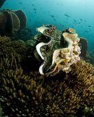 Almeja gigante mar