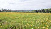 Dandelion, taraxacum on endless fields.
