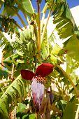 Banana Tree With A Blossom