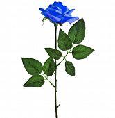 beautiful blue rose isolated on white background