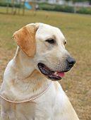 Yellow Happy Labrador In Summer
