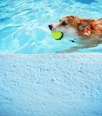 a corgi swimming at a local public pool