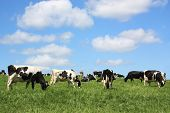 Grazing Holstein Dairy Cows