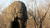 Adult Elephant Bull, Sabi Sands Game Reserve