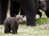 stock photo of bear-cub  - A small bear cub in the wilderness - JPG