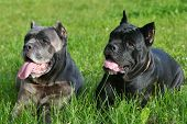 Two big dogs resting in the grass