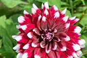 Vibrant ornamental variegated red and white dahlia blooming on the bush in a garden, close up view o