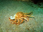 Empty armour of the king crab