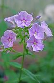 Phlox Flowers In The Garden