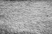 Texture From Fur Of Gray Color