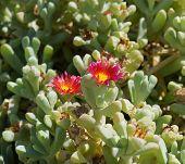 Red desert flowers