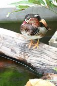 Colorful Green Winged Teal Duck On The Timber.