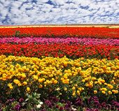Flowers planted with broad bands of bright colors - red, yellow, pink and purple. Field of multi-co