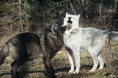 Two wolves playing near forest