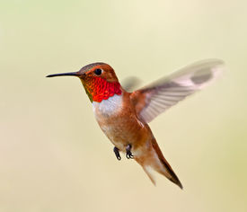 image of hummingbirds  - This male Rufous Hummingbird was captured hovering while feeding during its spring migration - JPG