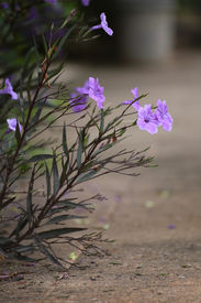 picture of tuberose  - The ruellia tuberose are growing on the footpath - JPG