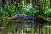 An Unusual Shot of a Large American Alligator (Alligator mississippiensis) Walking.