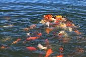 pic of koi fish  - Fish Koi fight for food in Turkey - JPG