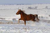 Horse run in snow field