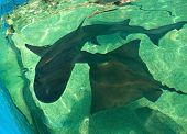foto of stingray  - Stingray and shark in the aquarium in Turkey - JPG