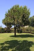 picture of conifers  - Pinus pinea - JPG