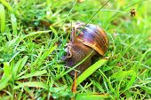 Snail in the grass Achatina fulica