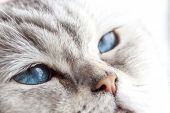 pic of portrait british shorthair cat  - Sleepy blue eyes  - JPG