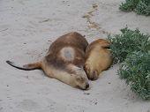 picture of sea lion  - Australian sea lion  - JPG