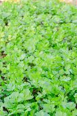 Coriander Herb Leaves Detail
