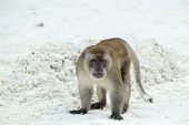 Aggressive Monkey Beach. Crab-eating Macaque At  Phi-phi, Thailand