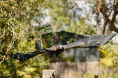 Eagle in flight at Currumbin Wildlife Park