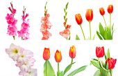Studio Shot Of Mixed Colored Gladiolus And Tulip Isolated On White Backgroud