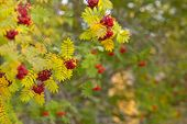 Rowan berries on twigs in autumn colors.