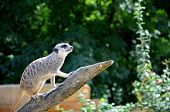 picture of meerkats  - A meerkat climbs a tree branch up to the lookout - JPG