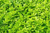 Bright background from bay leaf