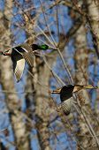 Pair Of Mallard Duck Flying Through The Woods