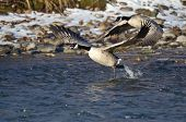 Canada Geese Taking Off From A Winter River