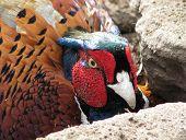 Pheasant's Head