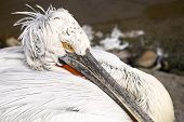 Eye Of Pelican