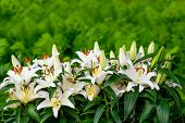 picture of easter lily  - Easter lilies and ferns outside in a garden during the spring season - JPG