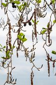 picture of alder-tree  - Alder branches with buds and leaves on a sky background - JPG