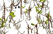 stock photo of alder-tree  - Alder branches with buds and leaves isolated background - JPG