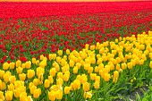 Bright yellow and red tulip rows during sunny day