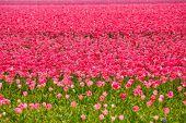 Beautiful pink tulips during sunny day in summer