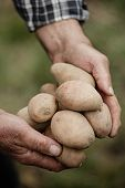 picture of potato-field  - Close-up of male hands holding potatos on a background of the vegetable garden ** Note: Shallow depth of field - JPG